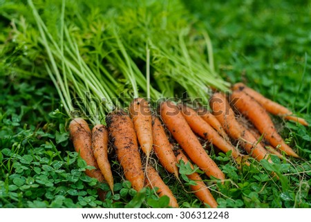 Bunch of a fresh unwashed carrots on a grass - stock photo