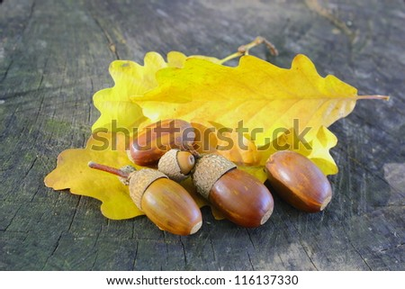 bunch of acorns on yellow oak leafs - stock photo