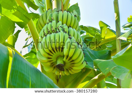 Bunch of bananas on tree