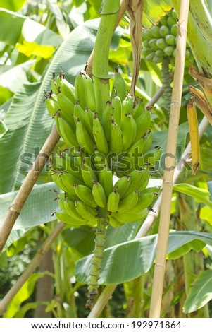 Bunch of bananas on tree in sun light