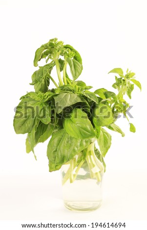 Bunch of Basil in vase with water to keep it fresh for later use.  Against white background with copy space.