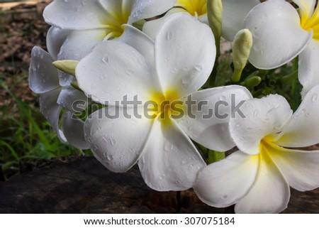 bunch of beautiful white flower plumeria or frangipani on nature background - stock photo