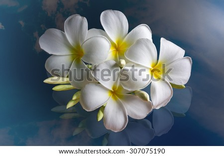 bunch of beautiful white flower plumeria or frangipany on shadow of sky background - stock photo
