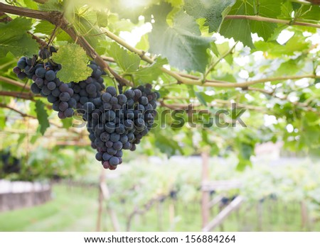 Bunch of black grapes in a vineyard. Nice back lit effect. - stock photo