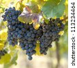 Bunch of blue grapes on vine - stock photo
