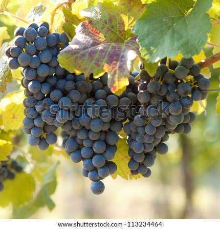 Bunch of blue grapes on vine