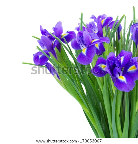 bunch of blue  irises flower close up  isolated on white background