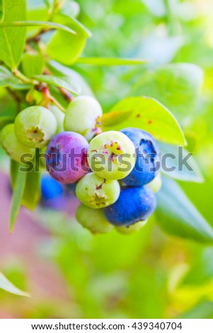 bunch of blueberries ripening on the bush in the garden - stock photo