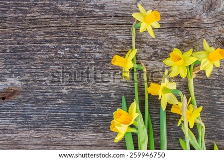 bunch of bright fresh spring yellow daffodils on wooden background - stock photo