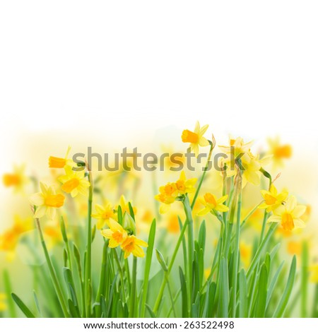 bunch  of bright spring yellow daffodils   on white background