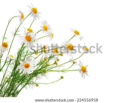 Bunch of Chamomiles isolated on white. Camomille border design - stock photo