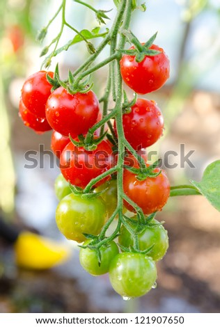 bunch of cherry tomatoes red green in water drops - stock photo