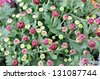 Bunch of Chrysanthemum buds - stock photo