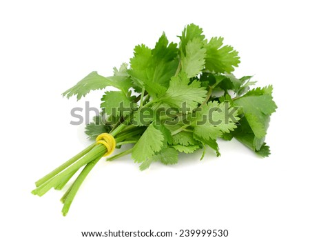 Bunch of Cilantro  leaves on isolated white background