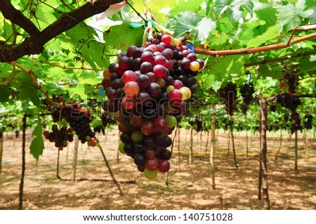 Bunch of colorful grapes hanging on the vine. - stock photo