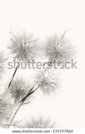 Bunch of dandelions on light background. Sepia.