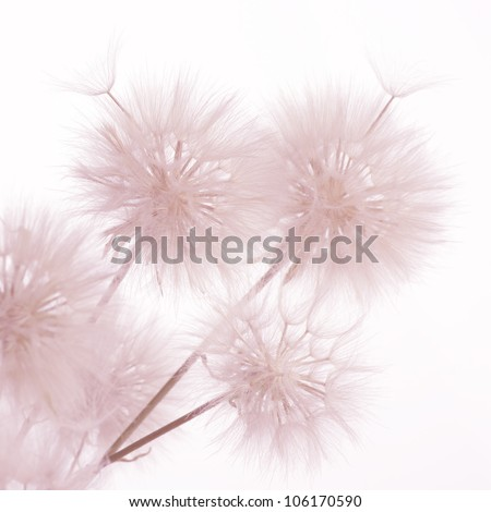 Bunch of dandelions on light background. Toned image. - stock photo