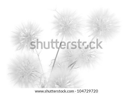 Bunch of dandelions on white background. Black&white, high key. - stock photo