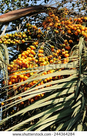 Bunch of dates on the palm tree - stock photo