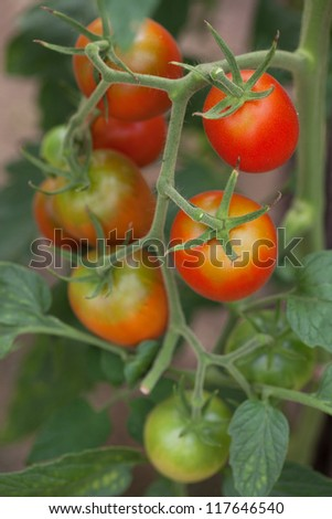 Bunch of delicious red tomatoes on a branch