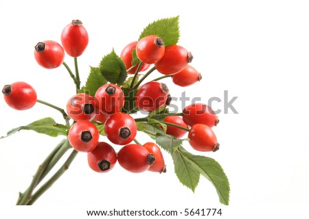 bunch of dog rose isolated on white