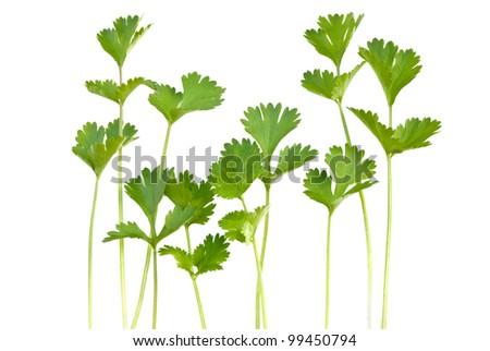bunch of fresh cilantro isolated on white - stock photo
