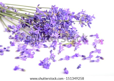 Bunch of fresh lavender flowers on a white background - stock photo