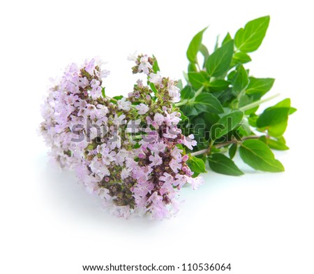 Bunch of fresh oregano (Origanum vulgare) isolated on white background - stock photo