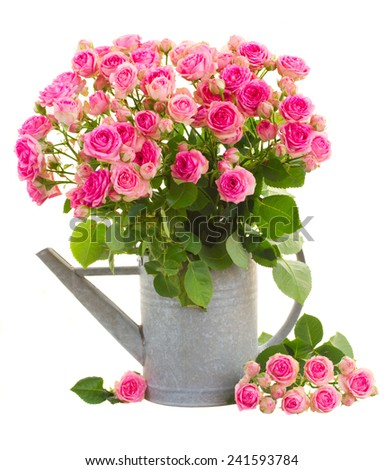 bunch  of fresh pink roses in watering can  isolated on white background - stock photo