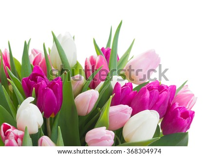 bunch of fresh purple, pink and white tulip flowers close up isolated on white background - stock photo