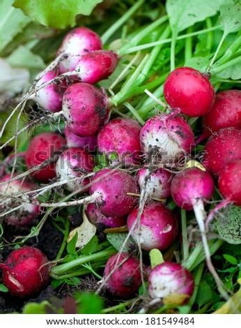 bunch of fresh radishes - stock photo