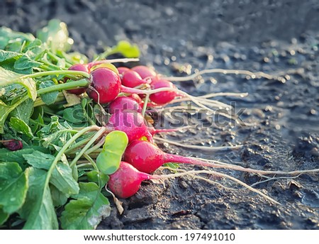 bunch of fresh radishes on garden of raw - stock photo