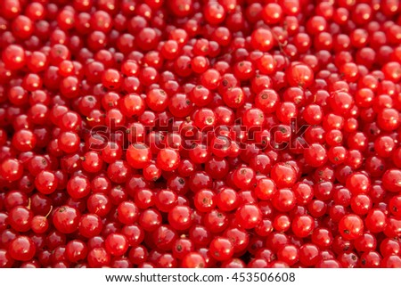 Bunch of fresh red currants.