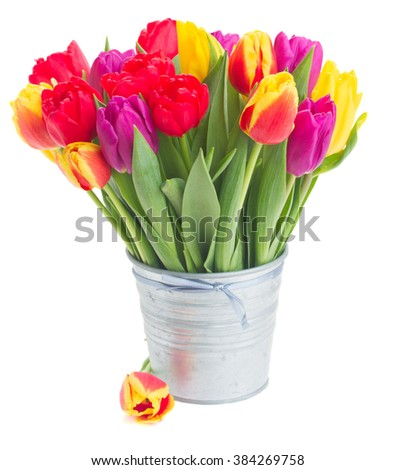 bunch of fresh yellow, purple and red  tulips in metal pot isolated on white background