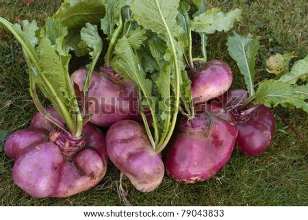 Bunch of freshly picked turnips on green