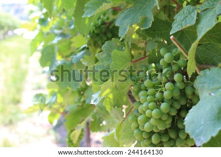 Bunch of grapes in a vineyard of Vienna, Austria - stock photo