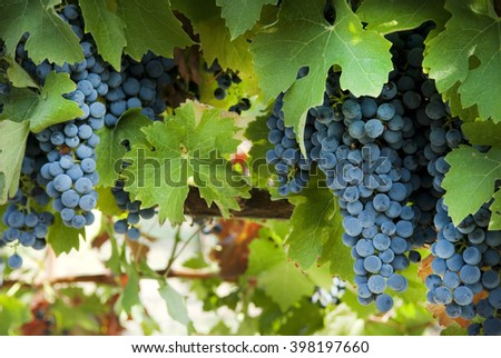 bunch of grapes on a bush - stock photo