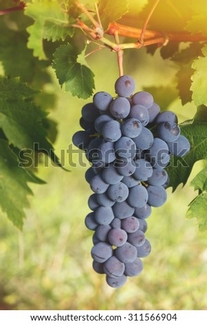 Bunch of grapes on a vine, close up. Soft and blur style for background. A photo with very shallow depth of field  - stock photo