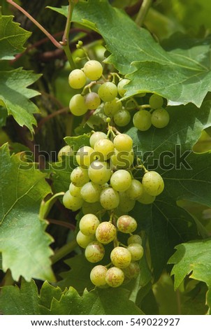 Bunch of grapes on a vine with green leaves