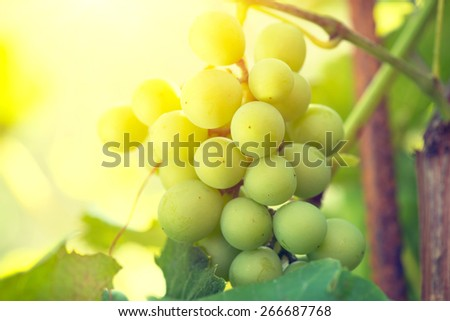 Bunch of grapes on grapevine growing in vineyard. Yellow grapes with green leaves on the vine. Soft focus - stock photo