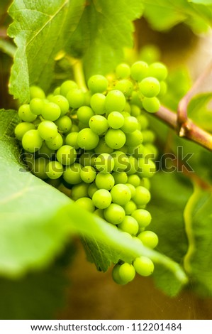 Bunch of grapes on grapevine. Shallow DOF - stock photo