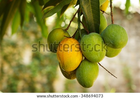 Bunch of green and ripe orange  mango on tree. Selective focus on orange mango. Selective focus