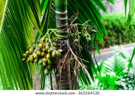 Bunch of Green and ripe tropical Betel Nut or Areca palm Catechu hanging on tree in Singapore. It is commonly referred to as betel nut, as it is often chewed wrapped in betel leaves. - stock photo