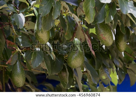 Bunch of green Avocados. One of them is opened that the stone and the pulp are visible. Avocado tree. - stock photo