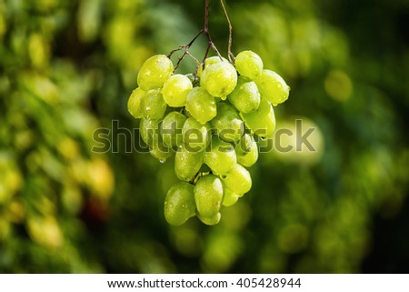 bunch of green fresh sweet grapes hanging on a branch - stock photo