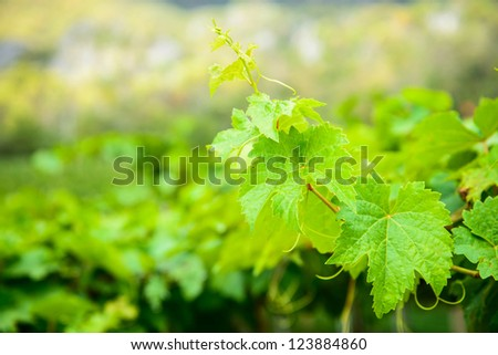 Bunch of green grapes leaves. - stock photo