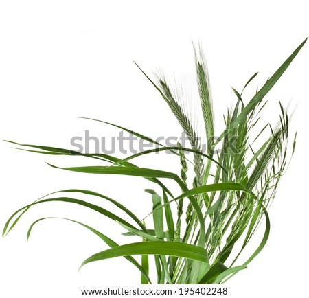 bunch of green grass Isolated on white background - stock photo