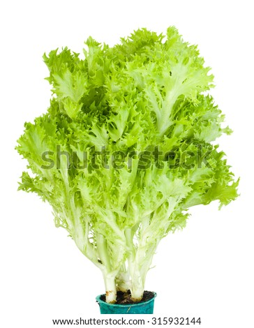 Bunch of green Lollo Bionda lettuce isolated on white background - stock photo