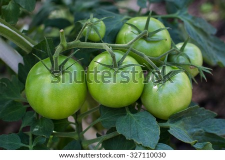 Bunch of green tomatoes in the garden