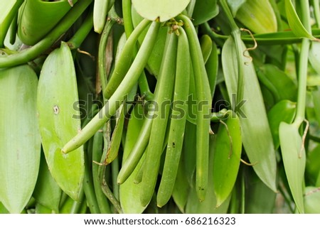 Bunch of green vanilla bean growing on tree